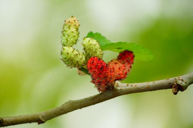 Moruše na stromě